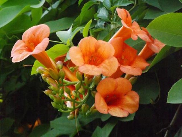 Plantes grimpantes pepiniere