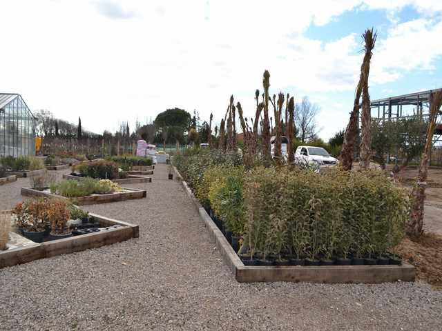 Arbuste pépinière