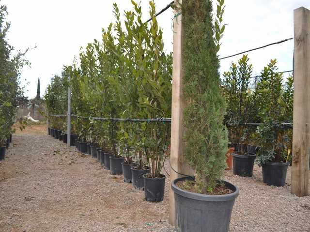 Pépinière oliviers plantes