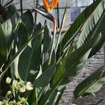 Plantes exotiques - Oiseau du paradis