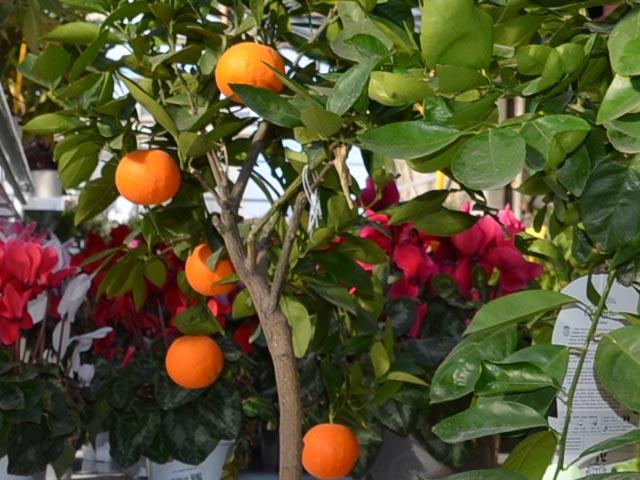 Oranger Montpellier