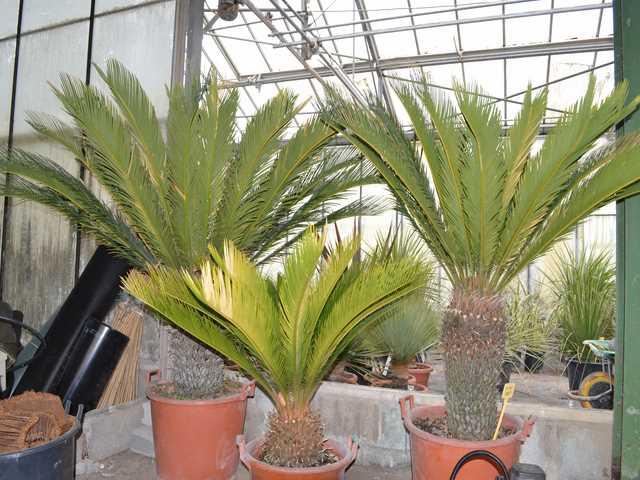 Palmiers pepiniere